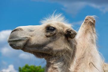 Camel head against cloudy sky in Budapest zoo, Hungary