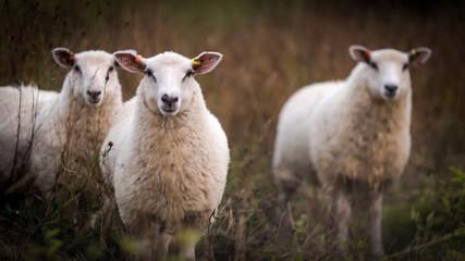 Fond de hotte en verre imprimé Sheep Three curious sheep in an autumn field