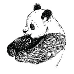 Sketch Panda with bamboo. Engrave ink draw panda illustration. Hand drawn panda bear