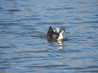 Duclair duck spending their day on the water, Sierra Nevada Mountains, Lake Isabella, California.