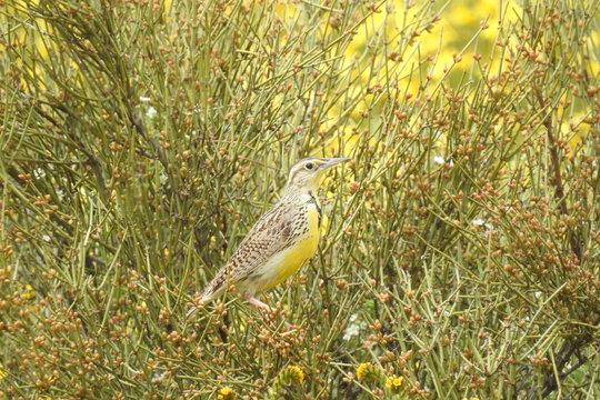 Meadow lark perched in the lush vegetation of the Carrizo Plain, San Luis Obispo County, California.