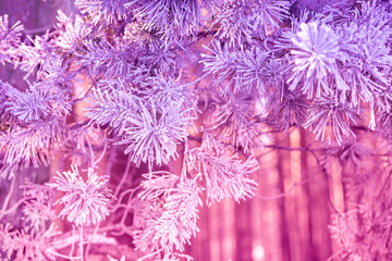 Foto auf Acrylglas Rosa Pine branches covered with rime. Natural winter background. Winter nature. Snowy forest. Christmas background