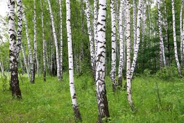 Spoed Foto op Canvas Berkbosje Beautiful birch trees
