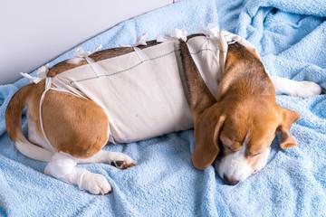 Beagle dog lying after surgery