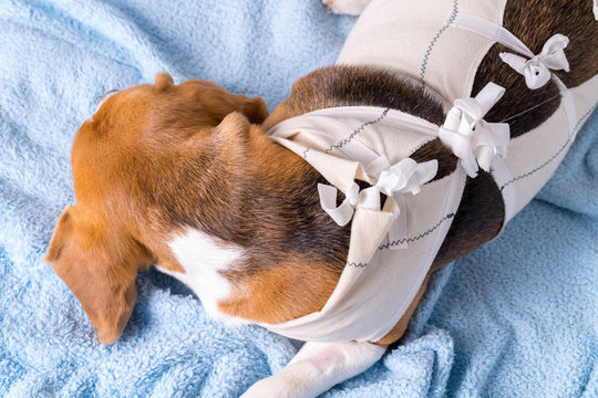 Veterinary protective suit for dog after surgery
