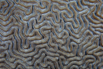 Fototapete - Close up of brain coral structure