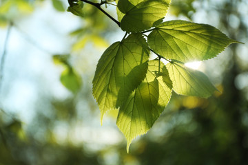 Tree branch with green leaves on sunny day