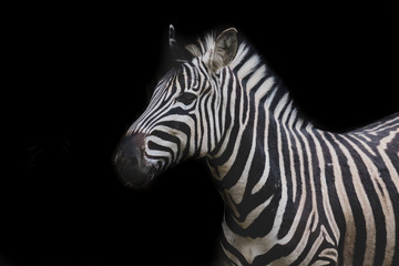 Zebra portrait made in zoo in the natural environment, isolated on the black background.