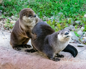 River otters playing in the Lehigh Valley Pennsylvania