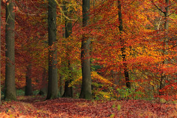 Autumn forest with orange colored leaves.