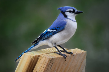 Blue Jay, Adult Perched on Wood Board Fotomurales