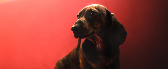 Adult dachshund dog on a simple plain red background in the form of a banner