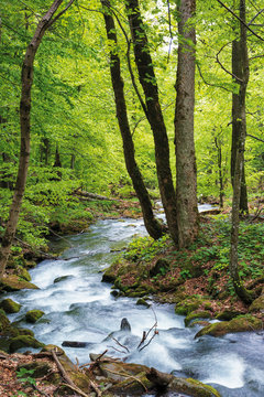 water stream in the forest. primeval beech woodland in springtime.