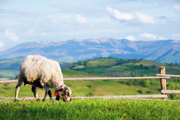 fluffy goat grazing  fresh green grass on a mountain meadow in front of the fence. distant ridge with snow capped tops beneath a blue sky with clouds. countryside landscape on a sunny springtime day