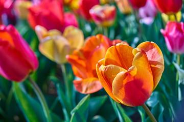 Fotobehang Tulp Tulpe