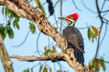 Pileated Woodpecker (Dryocopus pileatus), largest of the North American woodpeckers, perches in a central Florida tree. Wall mural