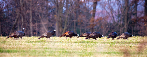 Eastern wild turkeys with a one red phase in Wisconsin Wall mural