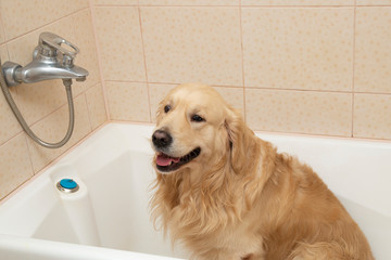 Dog washes in bathroom after walk on the street.