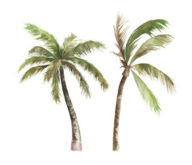 Watercolor isolated palm tree on white background. Hand drawn illustration