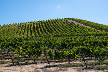 Rows of grapevines curve over a hill in a vineyard under a beautiful blue sky