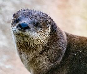 River otter in Lehigh Valley Pennsylvania