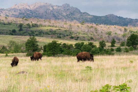 Bison at Wichita Mountains