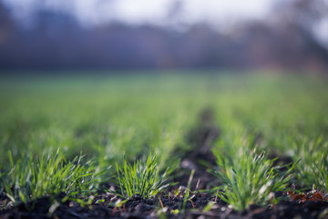 In de dag Olijf Young green wheat growing in soil. Agricultural proces. Field of young wheat seedlings growing in autumn. sprouting rye agriculture on a field on a foggy autumn day. Sprouts of rye.