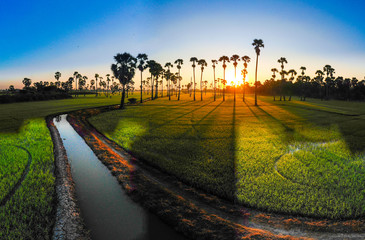 Recess Fitting Gray traffic Paddy rice plantation field morning sunrise with sugar palm tree rural village of Thailand