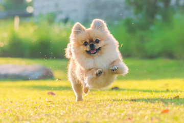 Cute puppies Pomeranian Mixed breed Pekingese dog run on the grass with happiness