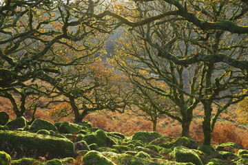 Obraz Ancient forest Wistman's Wood near Two Bridges in Dartmoor, Devon. Magical mysterious woodland with an eerie feel. Hundreds of years old twisted, moss-covered dwarf oak trees - fototapety do salonu