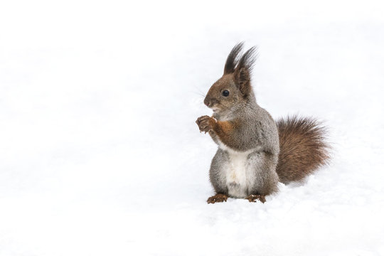 funny red squirrel standing with nut on white snow background