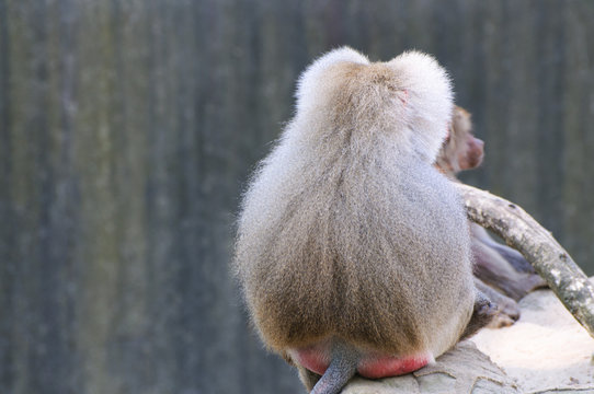Lonely baboon turned away showing his back in zoo