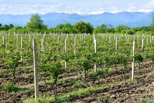 Young vineyard in Kakheti wine region in spring, Alazani Valley. Georgia
