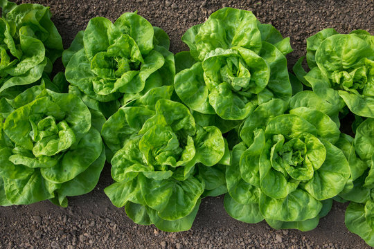 Fresh organic lettuce growing in a greenhouse - flat lay, selective focus