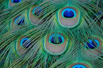 Fotobehang Pauw peacock with feathers