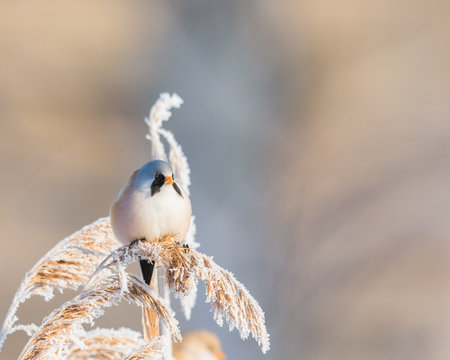 Male Bearded Reedling (Panurus biarmicus) eating frosty seeds on a winter morning