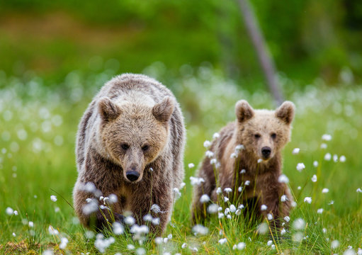 She-bear with cub in a forest glade surrounded by white flowers. White Nights. Summer. Finland.