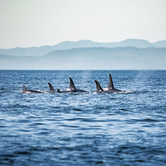 Killer Whales pod in British Columbia, Canada