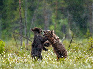 Two young brown bears are playing in a forest clearing with each other. It's raining. Summer. Finland.