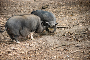 Full body a pair of adult black Vietnamese Pot-bellied pigs on the farm
