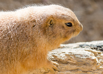 Close up side view picture of a cute prairie dog.