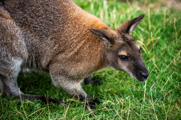 Portrait of adult wallaby macropodidae on the green grass