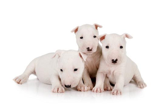 Three purebred white  Miniature Bull Terrier puppies