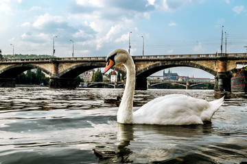 Swans on the Vltava river on the background of the Palatsky bridge in Prague.