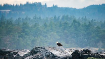 Bald Eagle on rocks at Victoria Bay, Vancouver Island, British Columbia, Canada