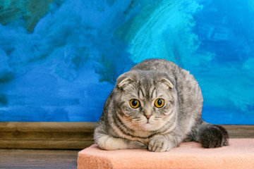 Surprised Scottish fold cat on a background of a colored blue wall. Gray scottish fold cat close-up. Big yellow eyes. Copy space Wall mural