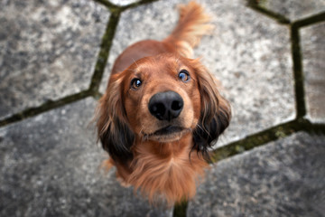 adorable dachshund dog sitting outdoors, top view portrait