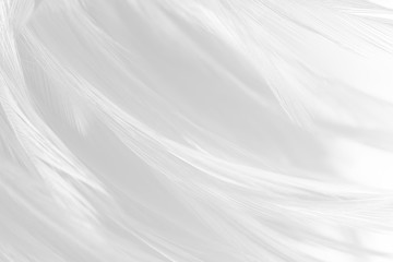 Wall Mural - Beautiful line white feather wool pattern texture background