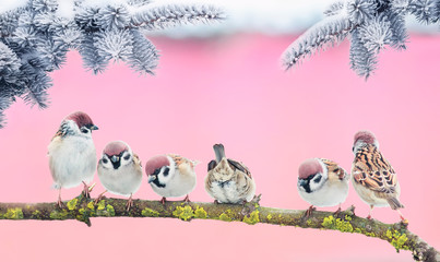 Wall Mural - new year holiday photo with group of little funny birds sparrows sitting on a branch of spruce in the winter Park