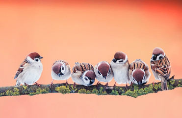 Wall Mural - panoramic photo with a group of small funny birds sparrows sitting on branch in Sunny Park